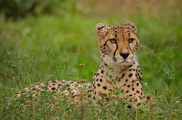 ležící gepard