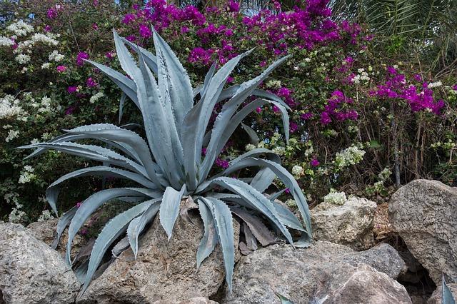 rostlina agáve
